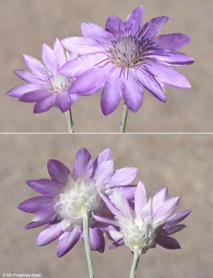 יבשוש חד-שנתי Xeranthemum annuum L.