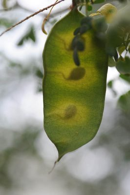 Acacia laeta R.Br. ex Benth.
