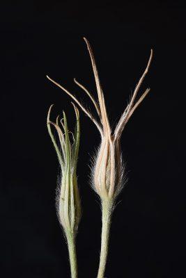 אגרוסטמה עדינה Agrostemma gracile Boiss.