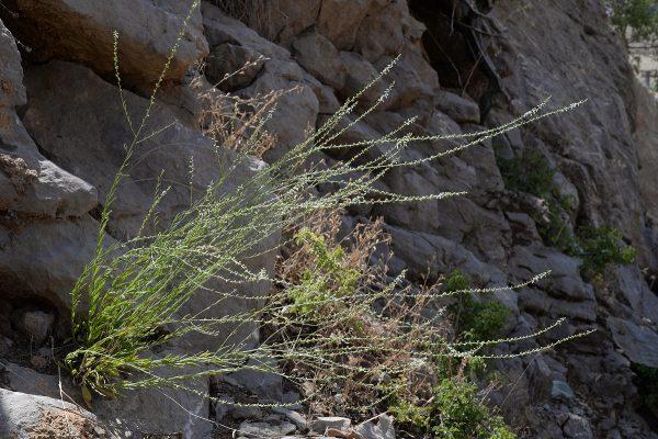 חסרף מזרחי Anarrhinum forskahlii (J.F. Gmel.) Cuf.