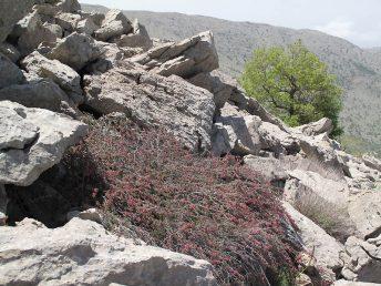 שיח שרוע של מעונות סלעיים בהרים יובשניים