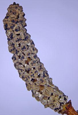 שבטבט ענף Equisetum ramosissimum Desf.