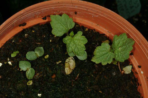 Hyoscyamus albus L.