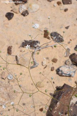 גבסנית דביקה Gypsophila viscosa Murray
