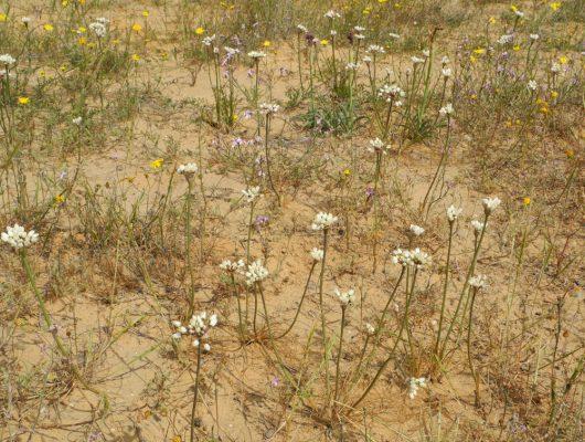 Allium papillare Boiss.