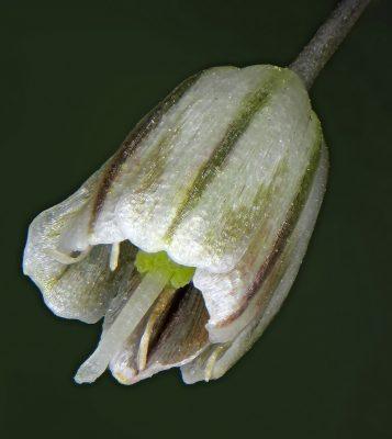שום לבנבן Allium pallens L.