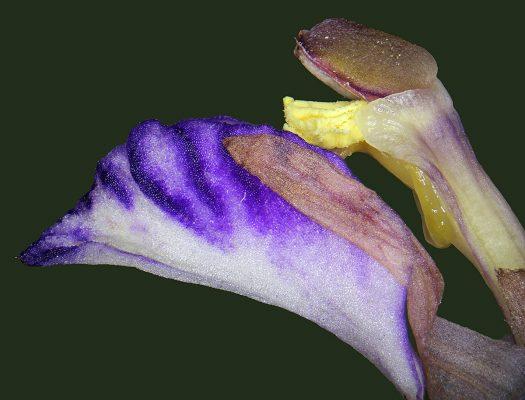 Limodorum abortivum (L.) Sw.