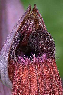 שפתן מצוי Serapias levantina H.Baumann & Kuenkele
