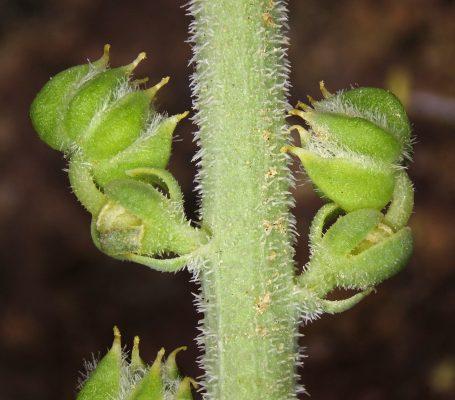 Caylusea hexagyna (Forssk.) M.L.Green