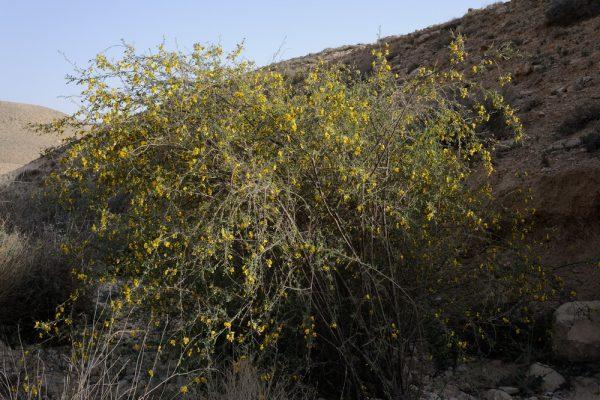 קרקש צהוב Colutea istria Mill.