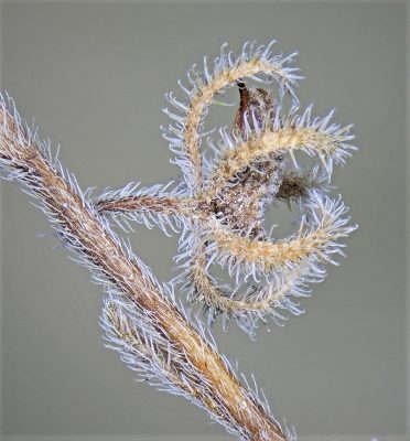 Rochelia disperma (L.f.) K.Koch
