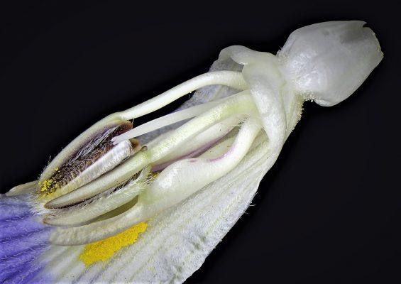 ריסן דק Blepharis attenuata Napper