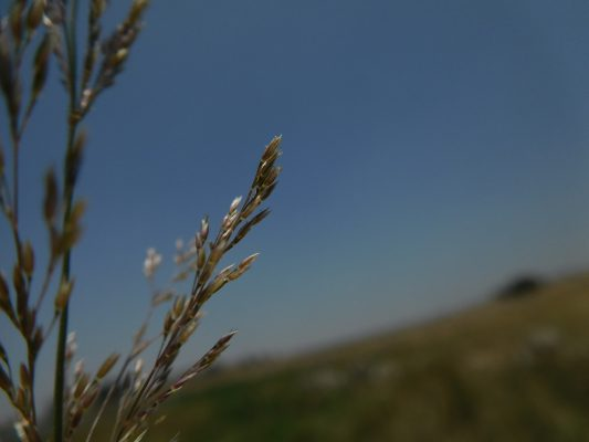 נחלית השלוחות Agrostis stolonifera L.