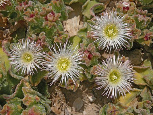 Mesembryanthemum crystallinum L.