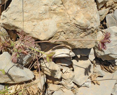 אחיגזר ההרים Orlaya daucoides (L.) Greuter