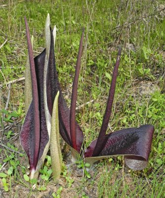 Biarum angustatum (Hook.f.) N.E.Br.