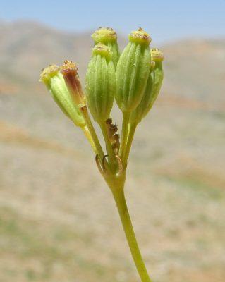 Peucedanum depauperatum Boiss. & Balansa