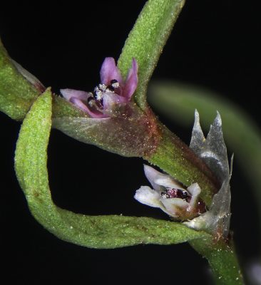 Polygonum polycnemoides Jaub. & Spach