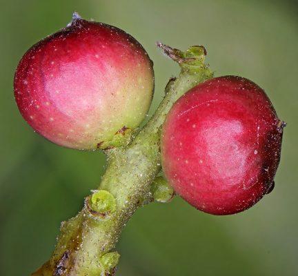אלת המסטיק Pistacia lentiscus L.