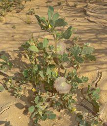 צמחי מדבר וערבות שעירים, בעלי גבעולים שרועים או מתרוממים; העלעלים דמויי ביצה הפוכה עד מוארכים, משוננים בחלקם העליון