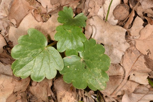 נורית (פיקריה) חרוקה Ficaria ficarioides (Bory & Chaub.) Halácsy