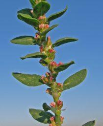 העלים בעלי פטוטרת קצרה או יושבים, אליפטיים או ביצניים-אזמלניים עד סרגליים-אזמלניים, מחודדים או קהים, תמימים; הפרחים לבנים-ירקרקים או ורודים, ערוכים בקבוצות של 5-2 בחיק העלים