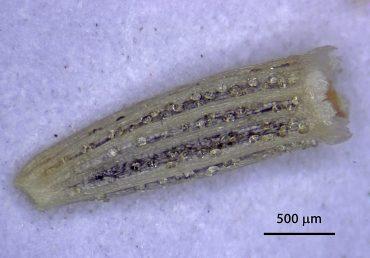 הזרעון דמוי מנסרה (פריסמה) ובעל 10-5 צלעות בעלות רווח זהה ביניהן; הציצית עשויה נזר קצר משונן