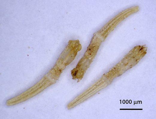 Tanacetum sinaicum (Fresen.) Decne. ex K. Bremer & C.J.Humphries