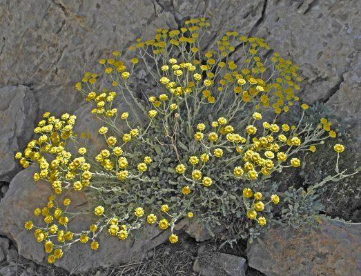 בן-חרצית צפוף Tanacetum densum (Labill.) Sch.Bip.