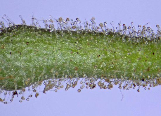 בר-דורבן צהוב Consolida flava (DC.) Schroedinger
