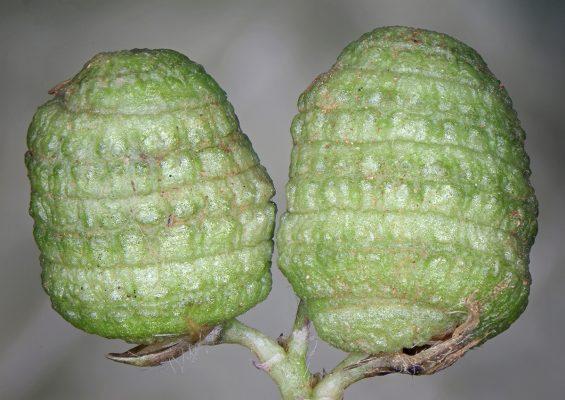 Medicago tuberculata (Retz.) Willd.