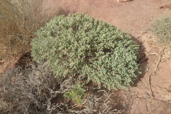 געדה מלבינה Teucrium leucocladum Boiss.