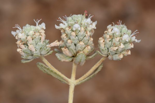 געדה מצויה Teucrium capitatum L.