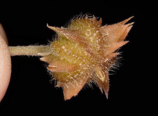 קוטב מכונף Tribulus pentandrus Forssk.