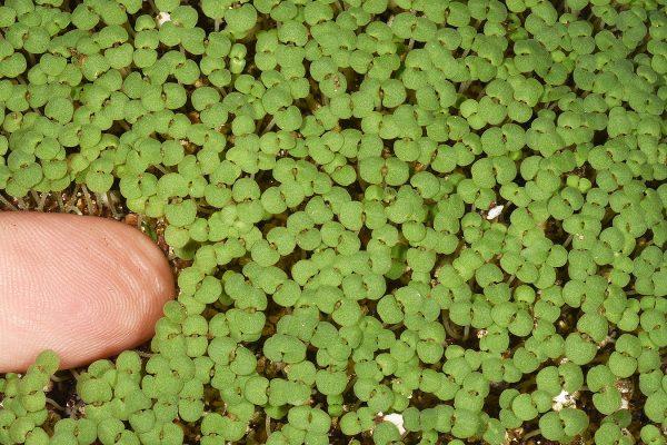 אבובית עדינה Ziziphora tenuior L.