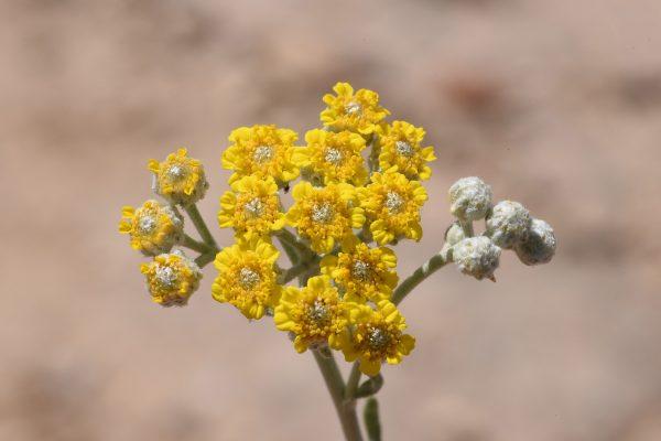 אכילאה גפורה Achillea falcata L.