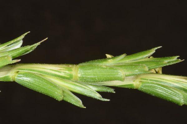 בן-חיטה קטוע Aegilops speltoides Tausch