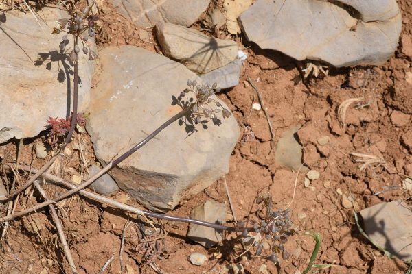 Allium pseudostamineum Kollmann & Shmida