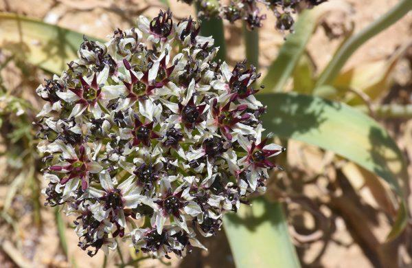 שום הנגב Allium rothii Zucc.