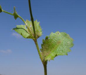 העלים התחתונים דמויי ביצה הפוכה, מצטררים כלפי בסיסם, קהים ומשוננים בשיניים הפונות לפנים
