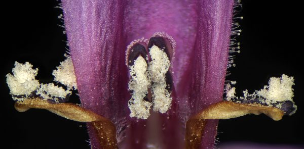Stachys arabica Hornem.