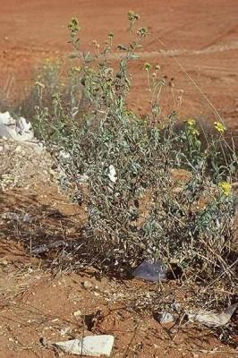Verbesina encelioides (Cav.) A.Gray