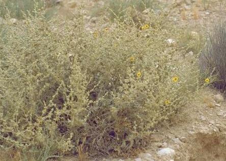בוצין המדבר Verbascum eremobium Murb.