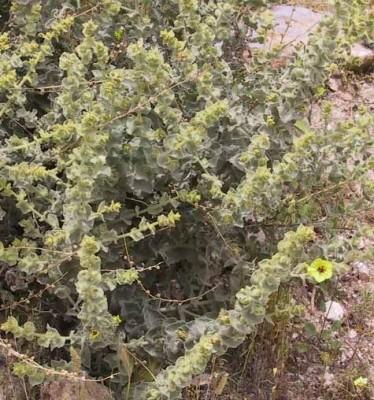 בוצין שיחני Verbascum fruticulosum Post
