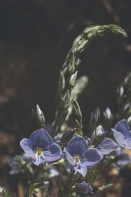 ורוניקה קירחת Veronica leiocarpa Boiss.