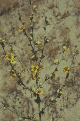 בוצין מפורץ Verbascum sinuatum L.