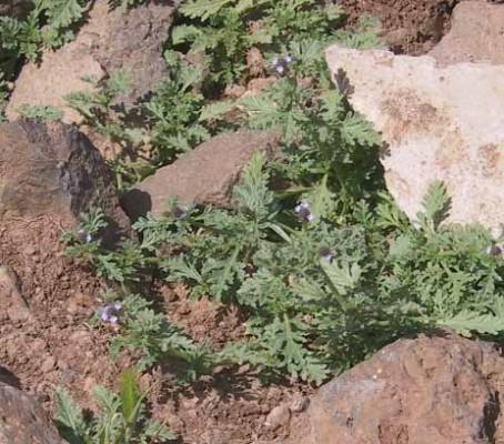 ורבנה שרועה Verbena supina L.