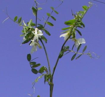 Vicia galeata Boiss.