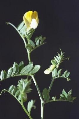 Vicia hybrida L.
