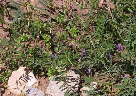בקיה מצויה Vicia peregrina L.